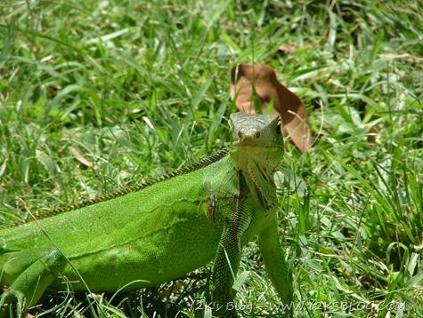 Iguana curiosa - Les Saintes - Guadaluapa