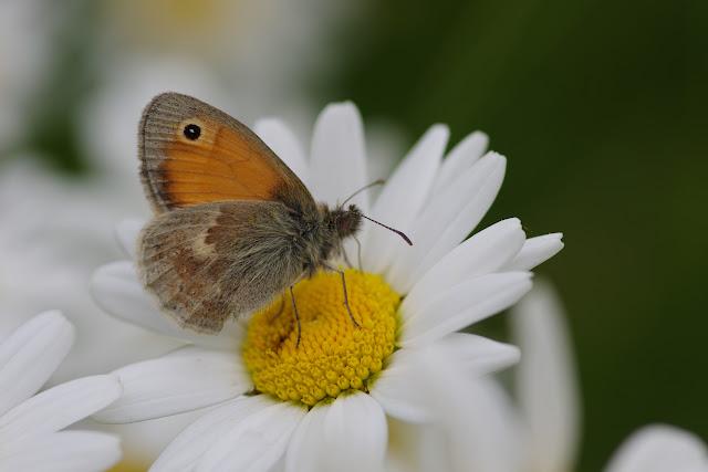 Coenonympha pamphilus (LINNAEUS, 1758). Les Hautes-Lisières (Rouvres, 28), 14 juin 2012. Photo : J.-M. Gayman