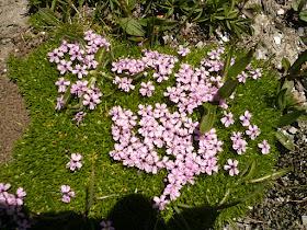 silene acaule Silene acaulis Caryophyllacees 5.JPG