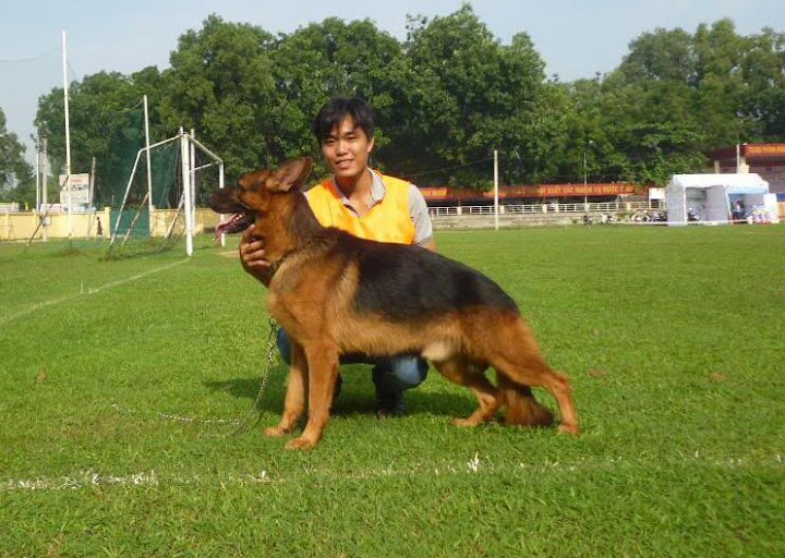Mua bán chó becgie đức thuần chủng ở TPHCM