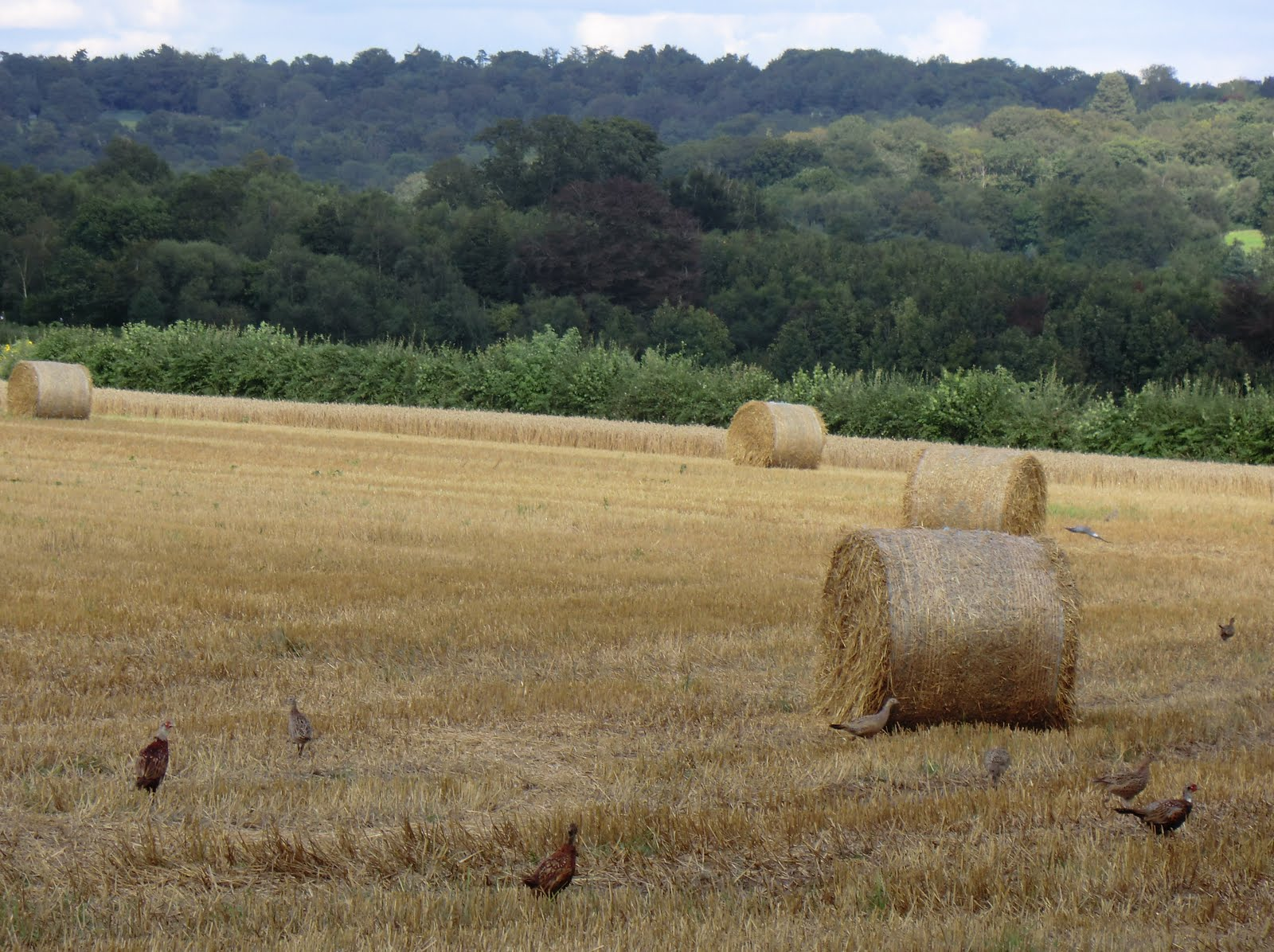 CIMG3430 Haystacks and pheasants at New Barn Farm