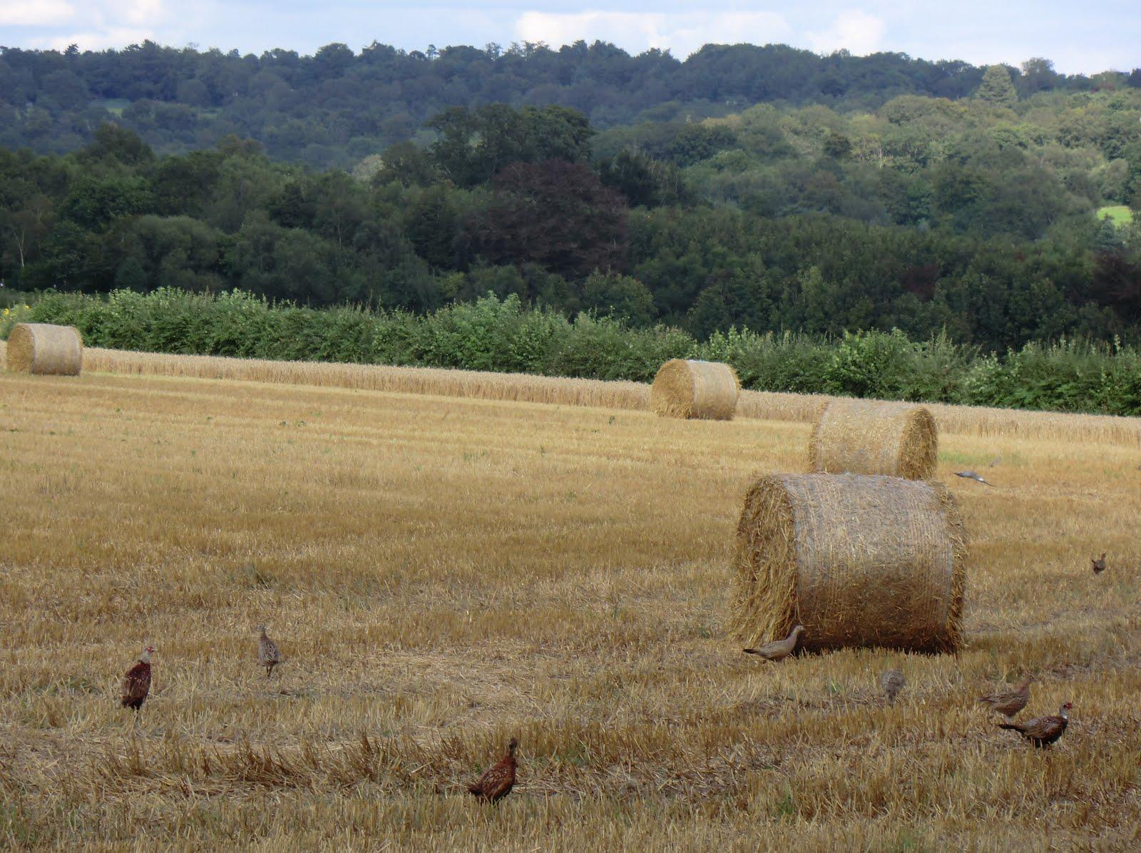 CIMG3430 Haystacks and pheasants at New Barn Farm