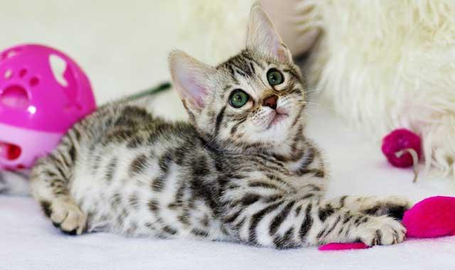 Cat trilling: why it happens?