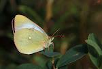Mosehøsommerfugl, Palaeno, hun3.jpg