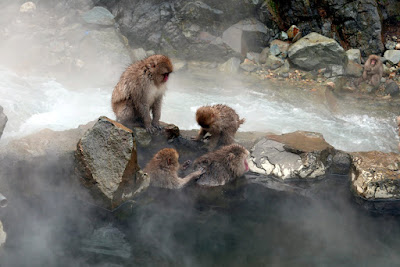 The Snow Monkeys of Jigokudani Yaen Koen Monkey Park - it was fascinating for a while watching the expressions and seeing them interact with each other or be lost in thought individually