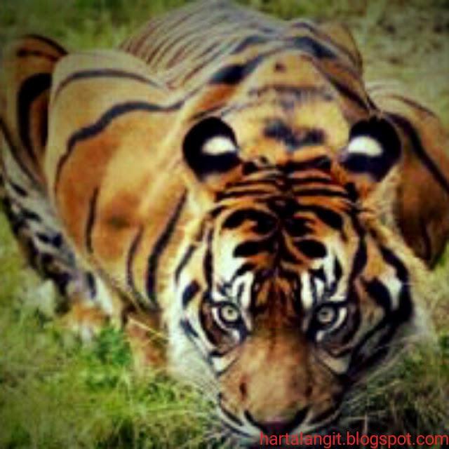 jimat kulit macan