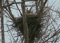 You can tell by the lack of leaves that great horned  owls nest early!
