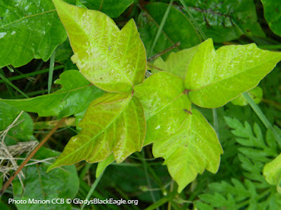 Poison ivy leaves can be many shades of green with a reddish tint.  Some may be very dark green and little to no red is noticeable.