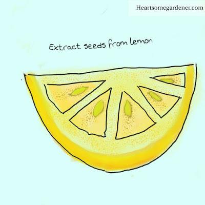 Grow lemon tree from seed
