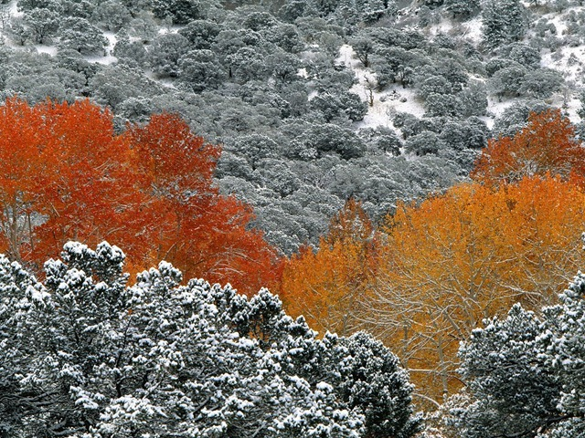 First Snow Fall, Aspen Trees