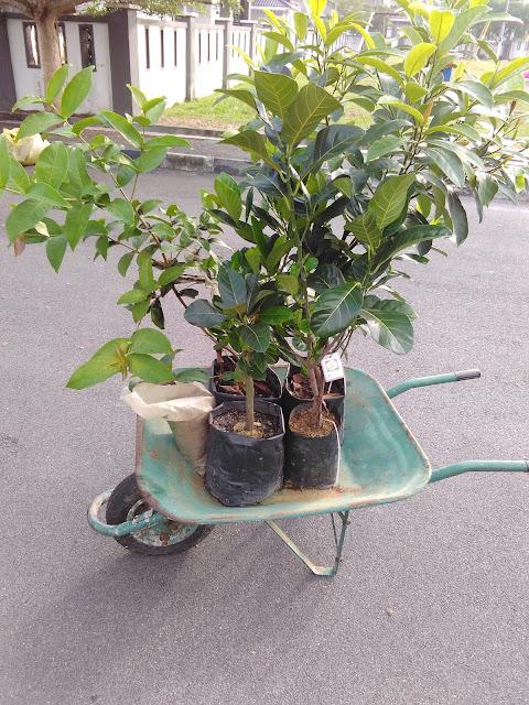 Benih pokok nangka madu, cempedak durian, jambu bertih selamat dikebumikan!