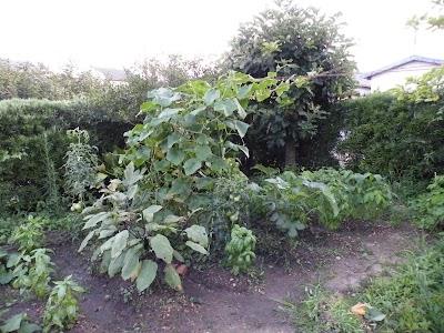 2010年7月19日の家庭菜園の様子