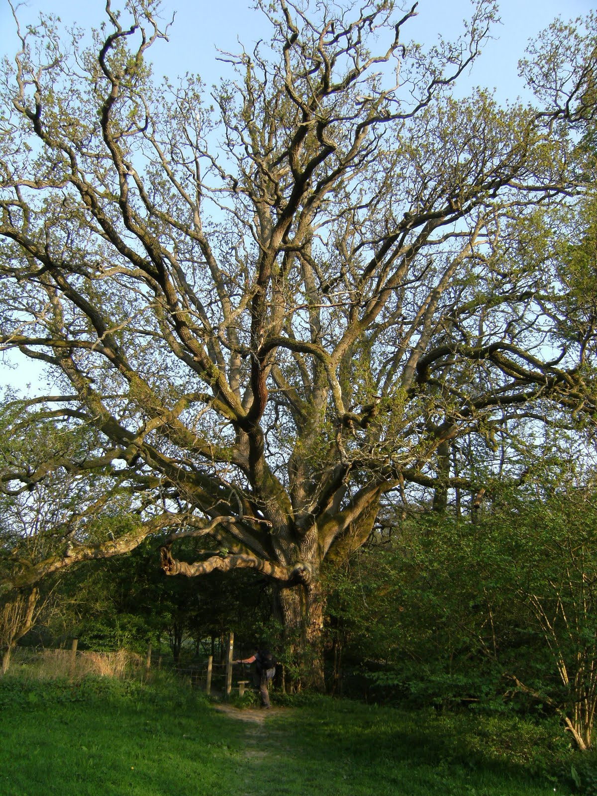DSCF7506 Old oak tree on the path to High Rocks