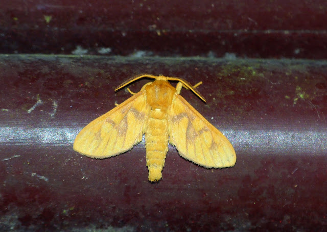 Erebidae : Arctiinae : Rhipidarctia subminiata KIRIAKOFF, 1959. PN d'Ankasa (Ghana occidental), 16 décembre 2013. Photo : J.-F. Christensen