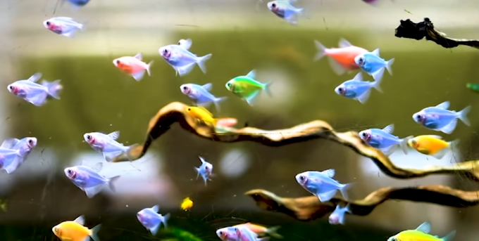 FISH CARE, GOOD LUCK AND RELIEVES STRESS