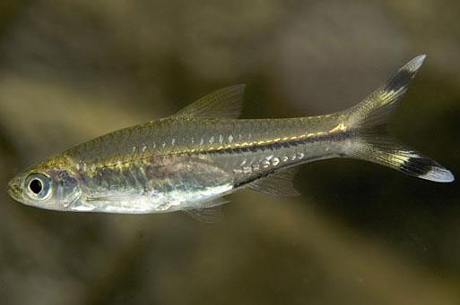 Cá Đuôi Kéo Tòng Long