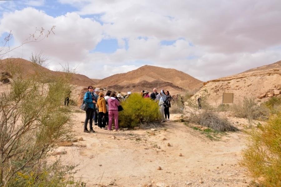 Растения пустыни. Куст Рехпетана (Ochradenus baccatus). Экскурсия гида Светланы Фиалковой в пустыню Негев.