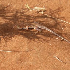Woestijn salamander