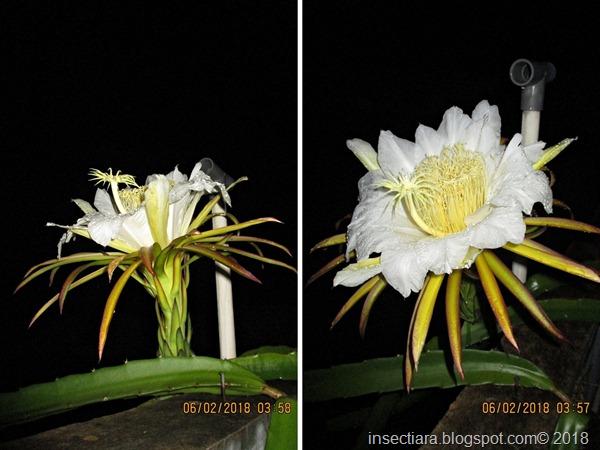 bunga buah naga 04