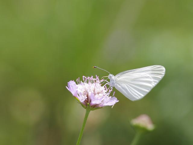 Leptidea duponcheli (Staudinger, 1871). Les Hautes-Courennes, 500 m, Saint-Martin-de-Castillon (Vaucluse), 15 juin 2015. Photo : J.-M. Gayman