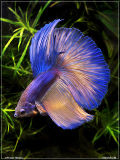 Ikan Cupang Terindah dan Termahal di Dunia