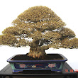 34 Premna obtusifolia.JPG