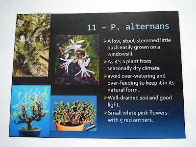 Pelargonium Alternans description
