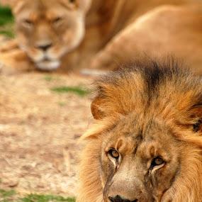 by Stephanie Ostrander Bishop - Animals Other Mammals ( cats, mammals, animals, lions )