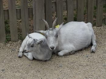 2018.08.25-010 chèvre et chevreau