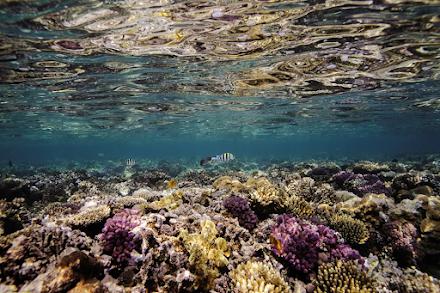 Νέα μελέτη έδειξε ότι η κλιματική αλλαγή σκοτώνει τους κοραλλιογενείς υφάλους του πλανήτη εξαιτίας της θέρμανσης των ωκεανών