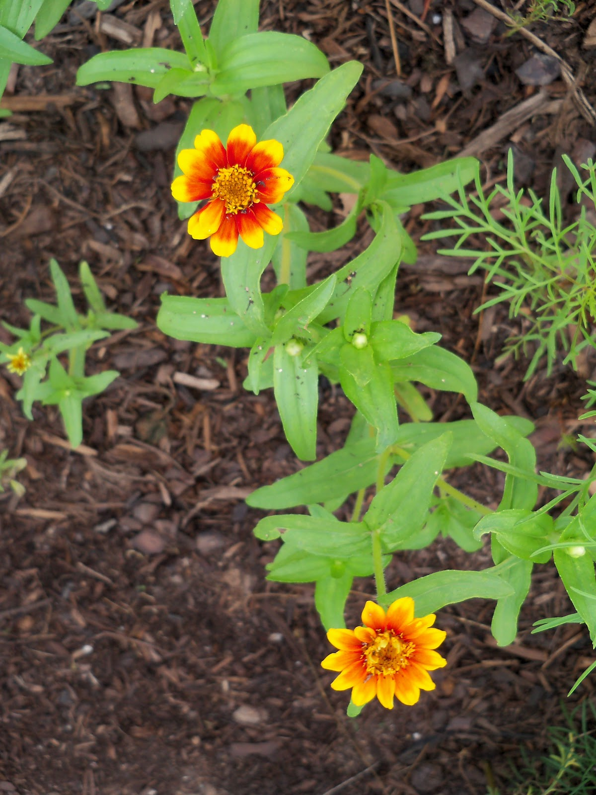 Gardening 2010, Part Two - 101_2748.JPG