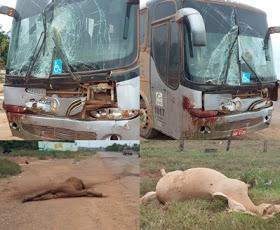 Animais causam acidente na Transamazônica em Itaituba, PA.