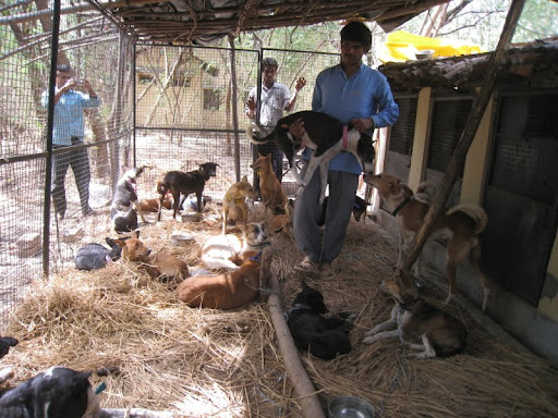In a little over three weeks, MAITRI Charitable Trust sterilized 126 street dogs – 80 females and 46 males – as part of its annual Animal Birth Control camp, Bodhgaya, India, February 2012.
