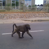Second of two baboons seen in Gabs. Crossing the street. No apparent fear of humans at all
