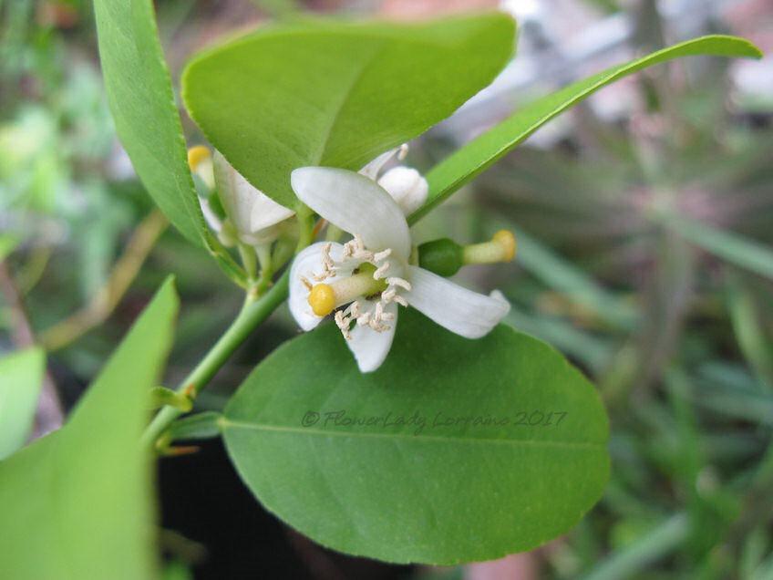 [04-25-key-lime-flowersjpg%5B4%5D]