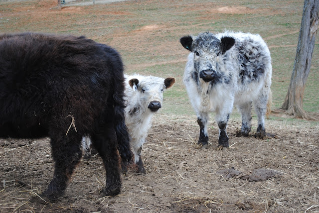 Miniature Galloway Cow photo by Callie Leuck