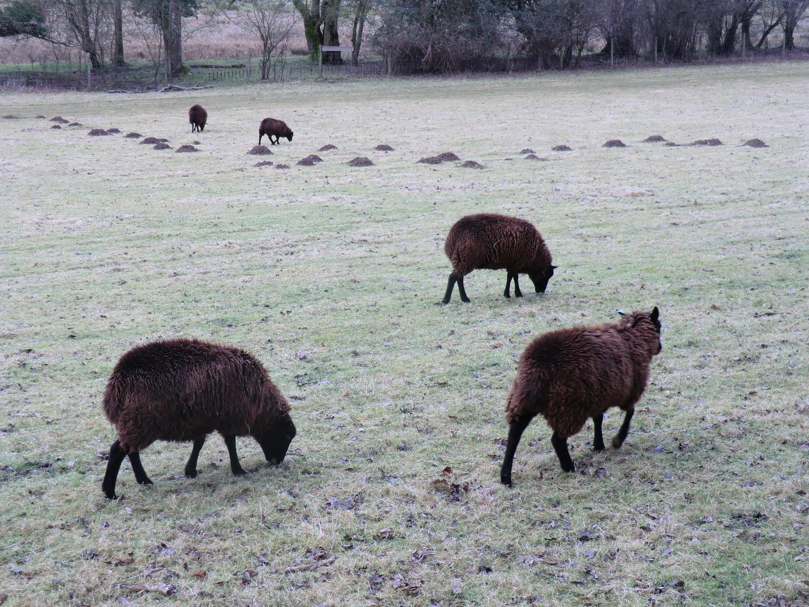 CIMG6696 Sheep and molehills in Coombedown Hanger