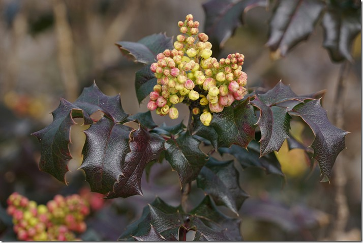 anacortes oregon grape 030518 00000