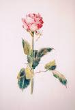 róża, kredka akwarelowa