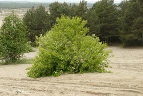 Czeremcha późna Prunus serotina