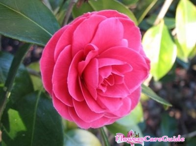 Prevention and Protection Camellia Cold Damage