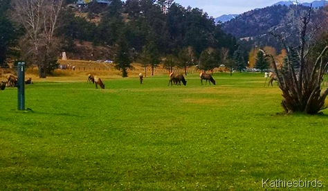 5. 10-20-15 elk on golf course