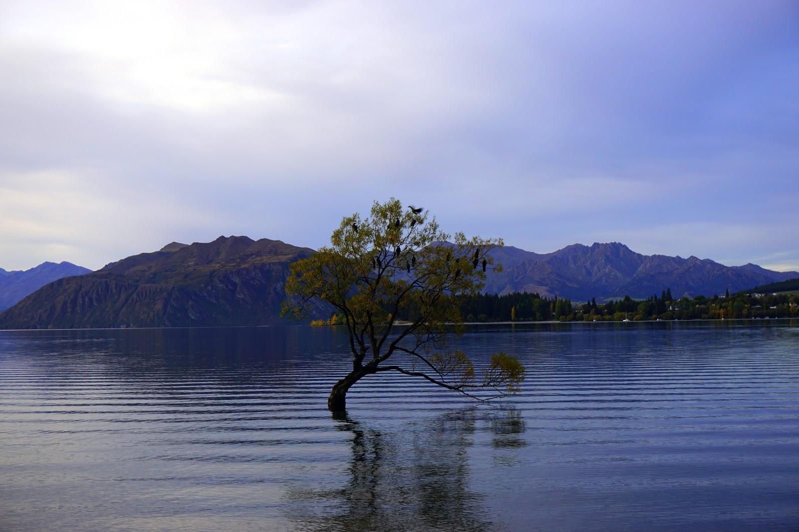 Lonely Tree, Wanaka