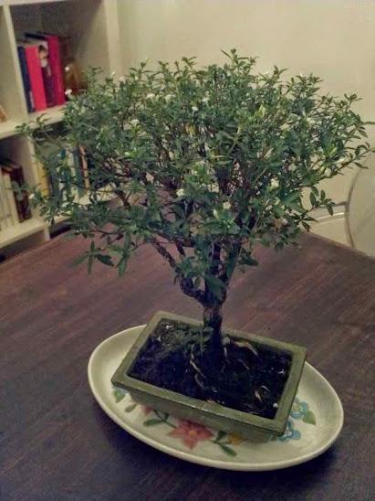 Bonsai di serissa foetida cura dei bonsai piante da - Cura dei bonsai in casa ...