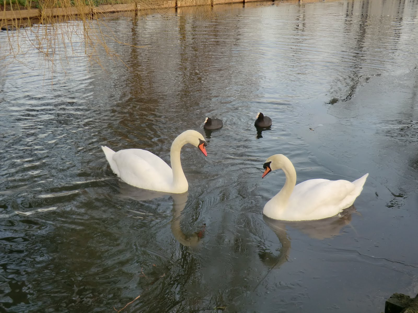 CIMG6610 Swans and coots on the North Canal