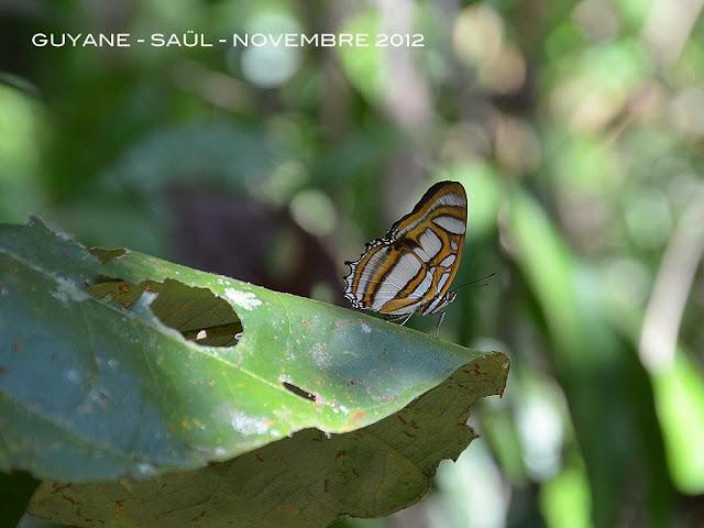 Metamorpha elissa HÜBNER, 1819. Saül, novembre 2012. Photo : M. Belloin