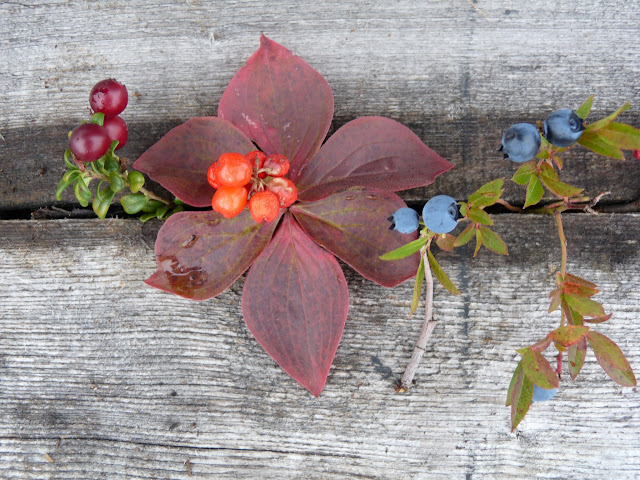 Typical small fruits - left to right: cranberry (canneberges), bunchberry (cornouiller du Canada) and blueberry (bleuets)