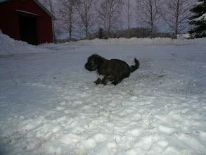Photo: Bantam Shepherd´s Robbie W, 6 weeks, first time outside, -15C degrees