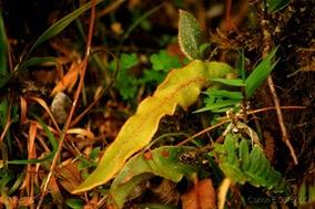 Elaphoglossum semicylindricum_2