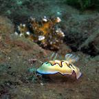 Nudibranch (Dauin, Negros)
